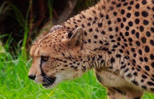 Guepardo africano de la reserva zoológica de Oasys MiniHollywood