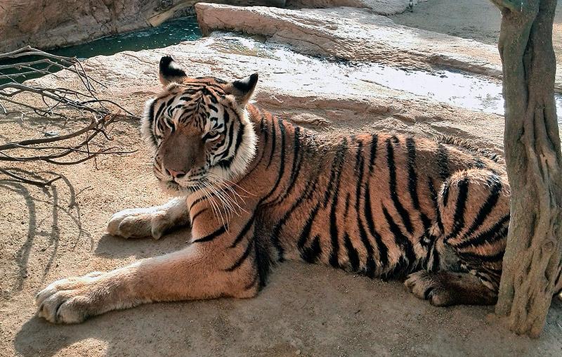 tigre-siberiano-macho-portada-oasys.jpg