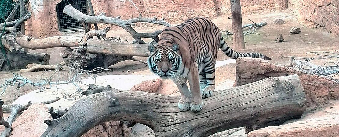 Tigre Siberiano en Reserva Biológica de Oasys