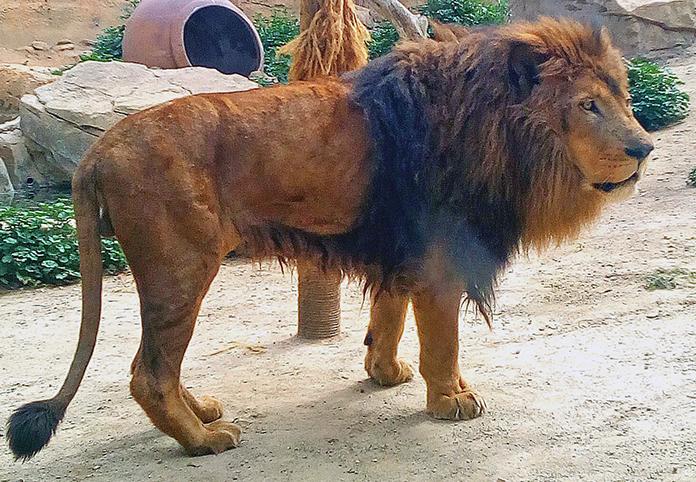 León Tonga de Oasys MiniHollywood