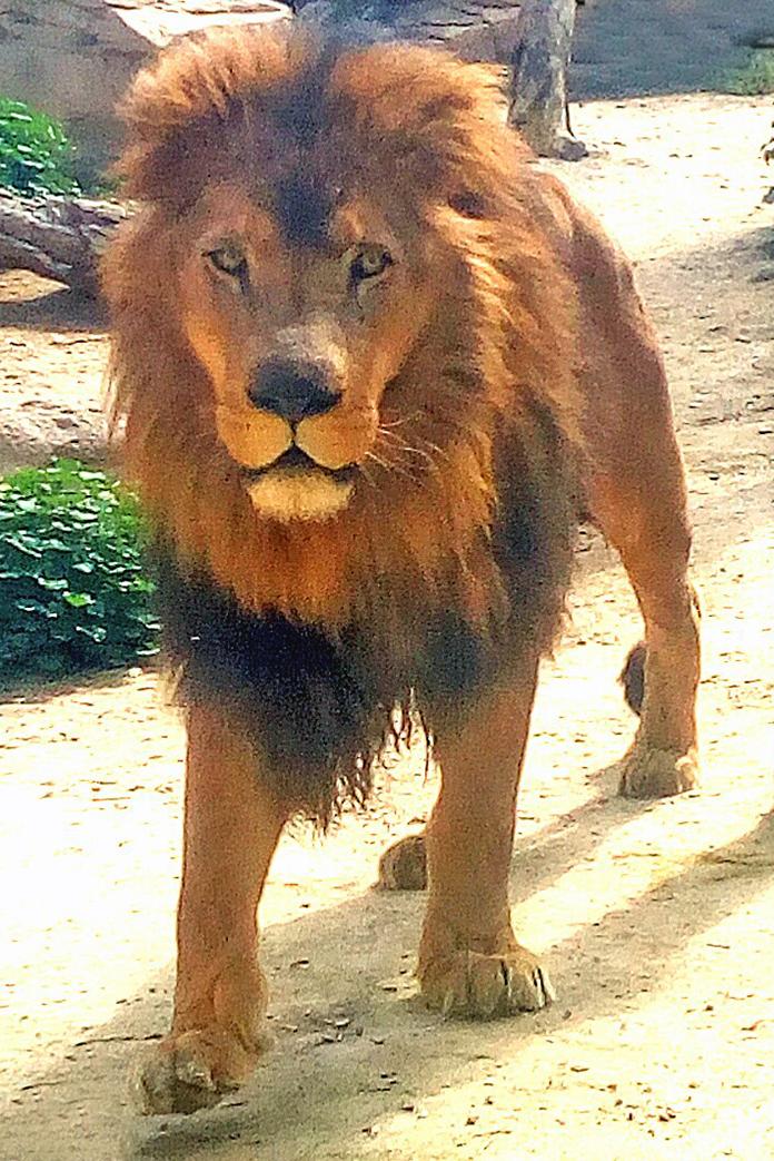 León Tonga de frente. En la Reserva Zoológica de Oasys MiniHollywood