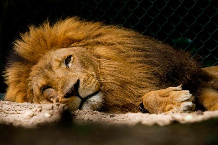 León Tonga de la Reserva de Oasys descansando