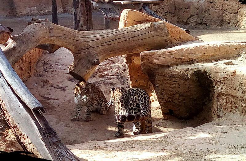lepardos-oasys-portadaa.jpg