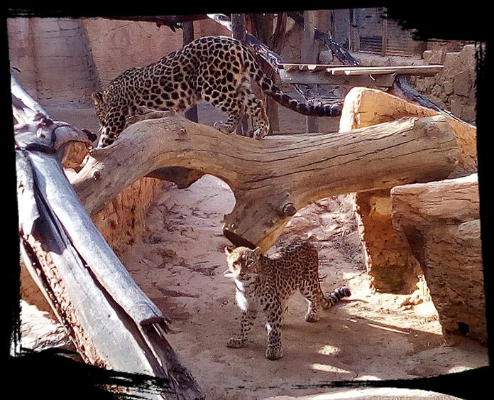 Pareja de Leopardos jugando en la Reserva zoológica de Oasys