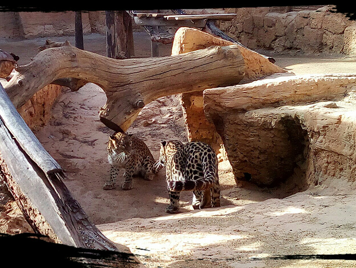 Pareja de Leopardos Persas en Oasys