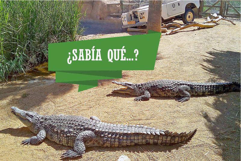 sabia_que_cocodrilo-800x534.jpg