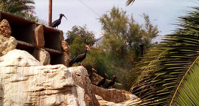 Ejemplares de ibis eremita en Oasys MiniHollywood