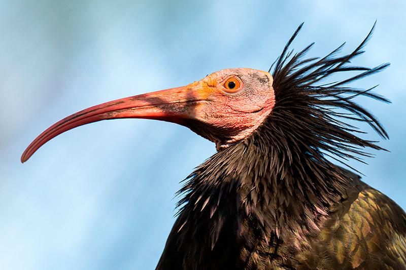 ibis1-800x533.jpg