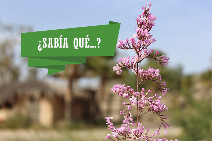 sabia_que_siempreviva-800x533.jpg
