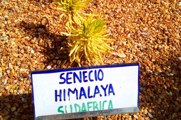 Senecio del Himalaya