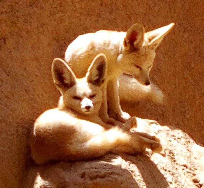 Pareja de zorros del desierto