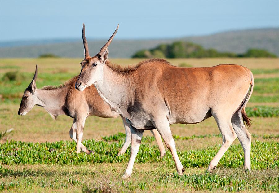 antilope-eland-portada.jpg