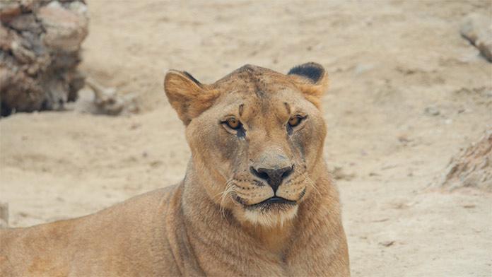 Leones en reserva zoologica