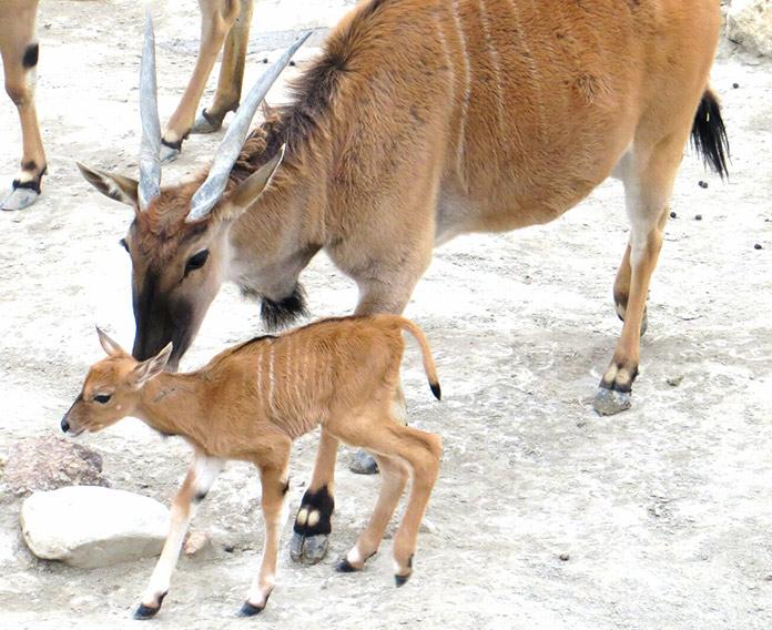 Antílope eland común