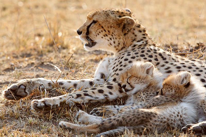 Guepardos en peligro de extinción