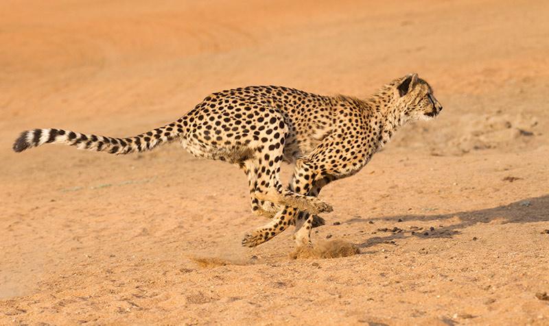 Animal más veloz terrestre