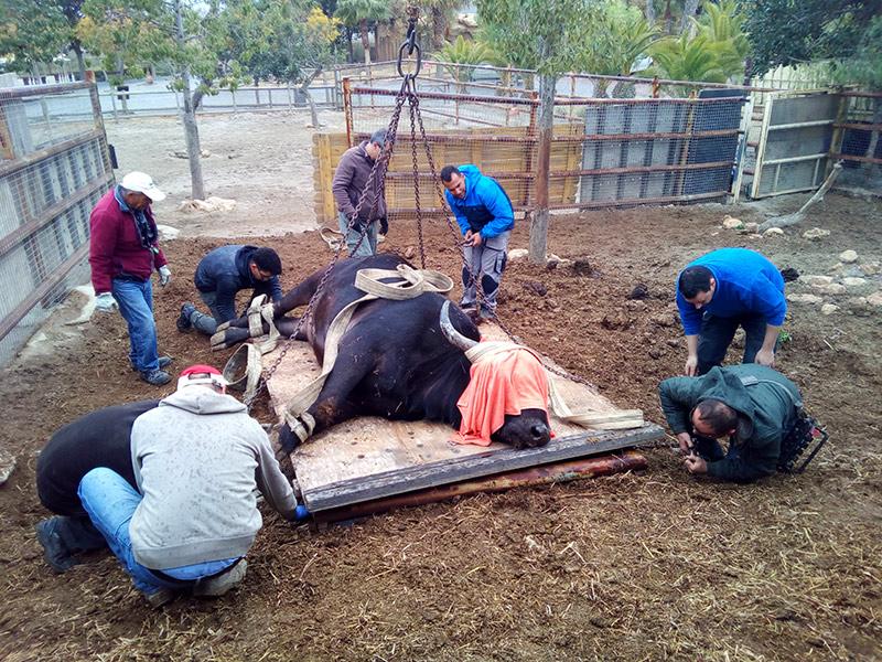 Traslado búfalo cafre
