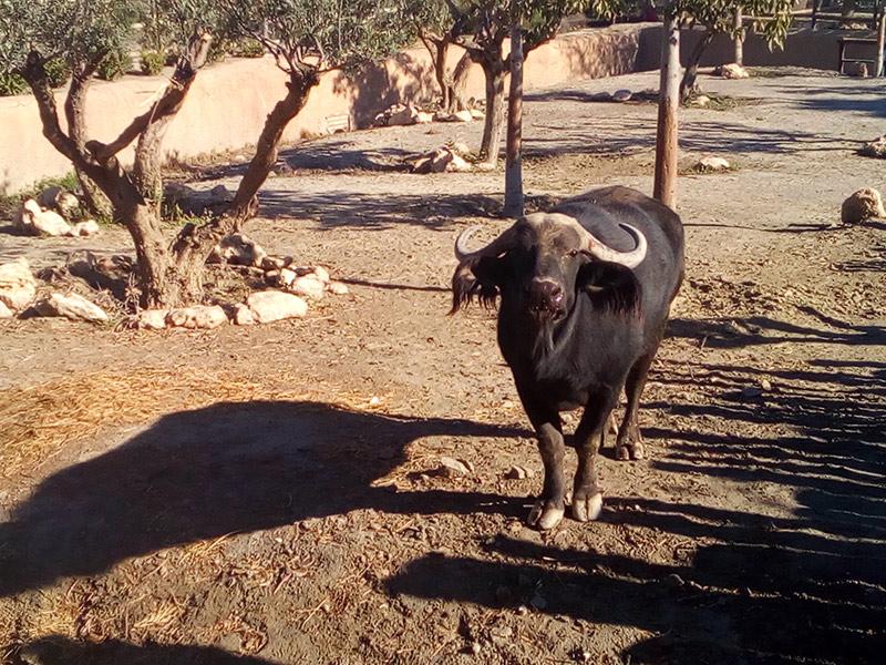 Búfalo cafre en Oasys