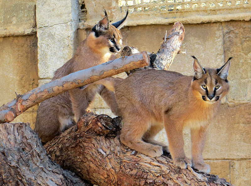 Lices caracal en Oasys