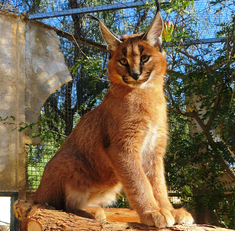 lince africano