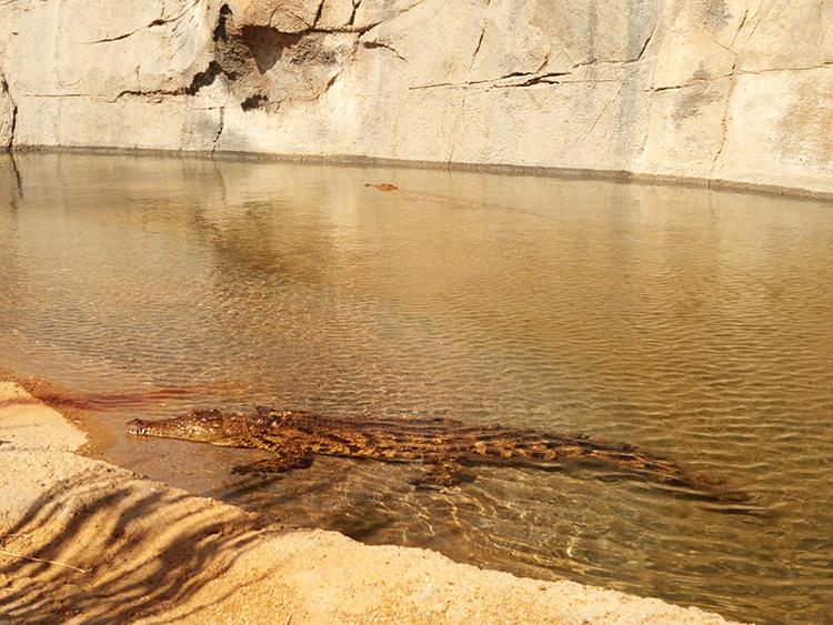 cocodrilos del Nilo en el agua