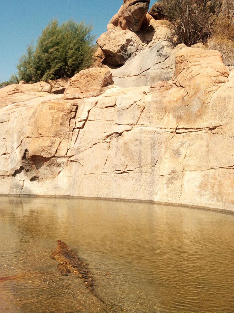 cocodrilos del Nilo nadando