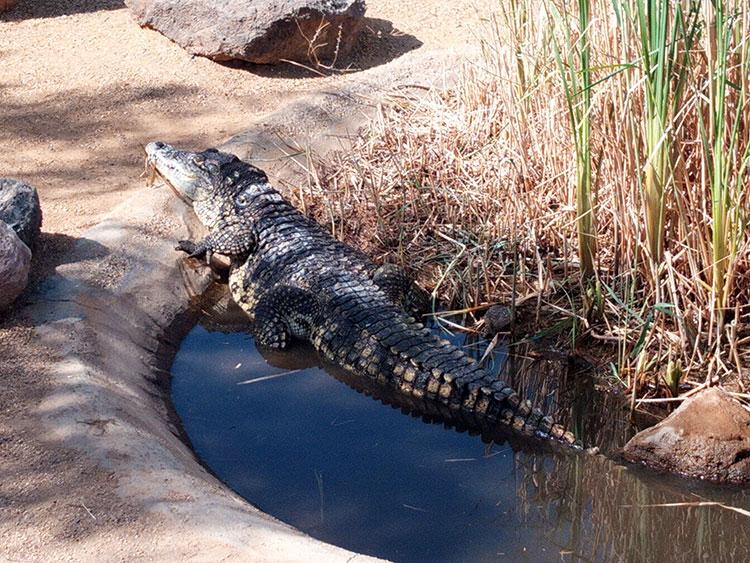 cocodrilos del Nilo en el agua descansando