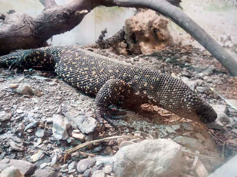 Lagarto escorpión (Heloderma horridum)