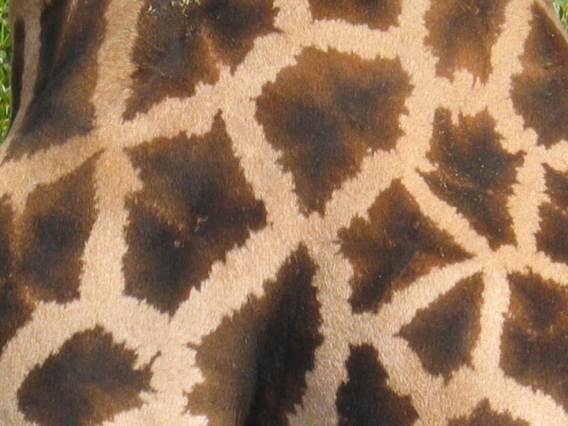 Manchas de una jirafa