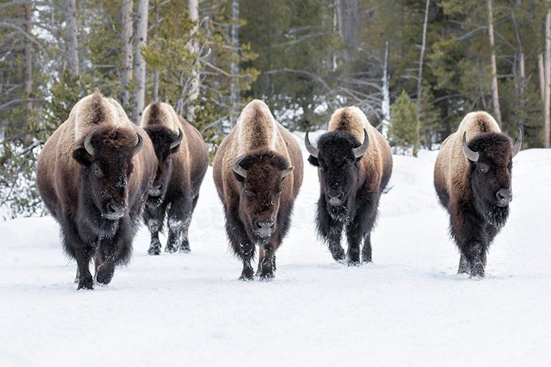 El bisonte americano en la nieve