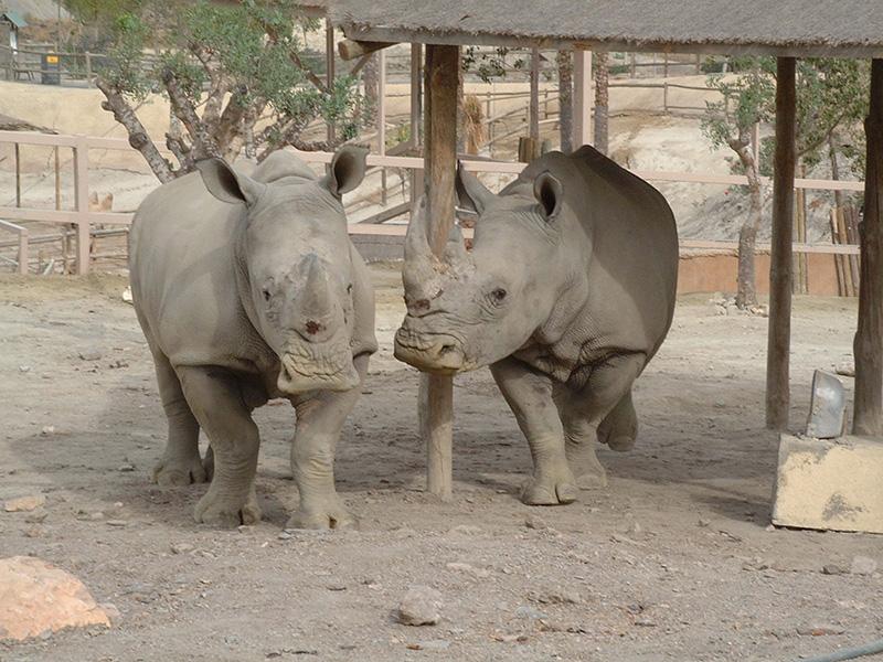 Rinocerontes blancos en Oasys MiniHollywood