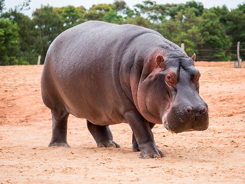 Hipoótamo común