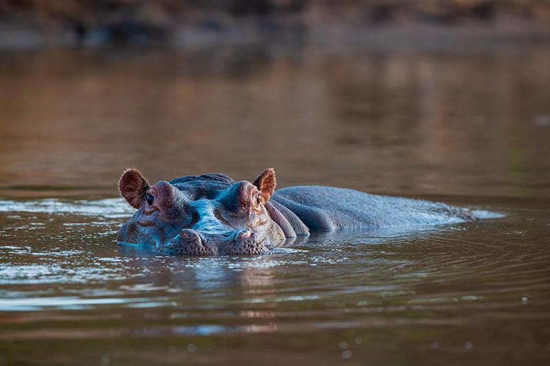 Cómo respiran los hipopótamos en el agua