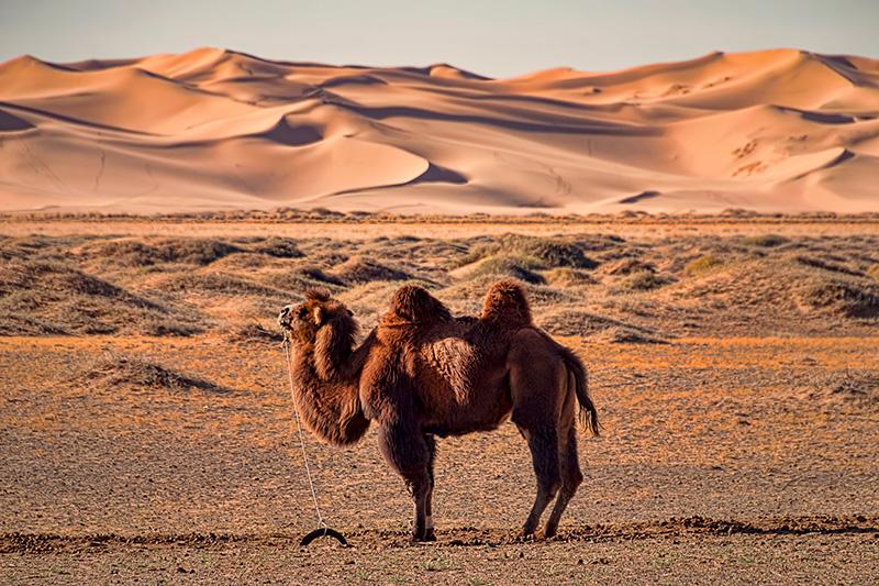 Camello en desierto de Gobi