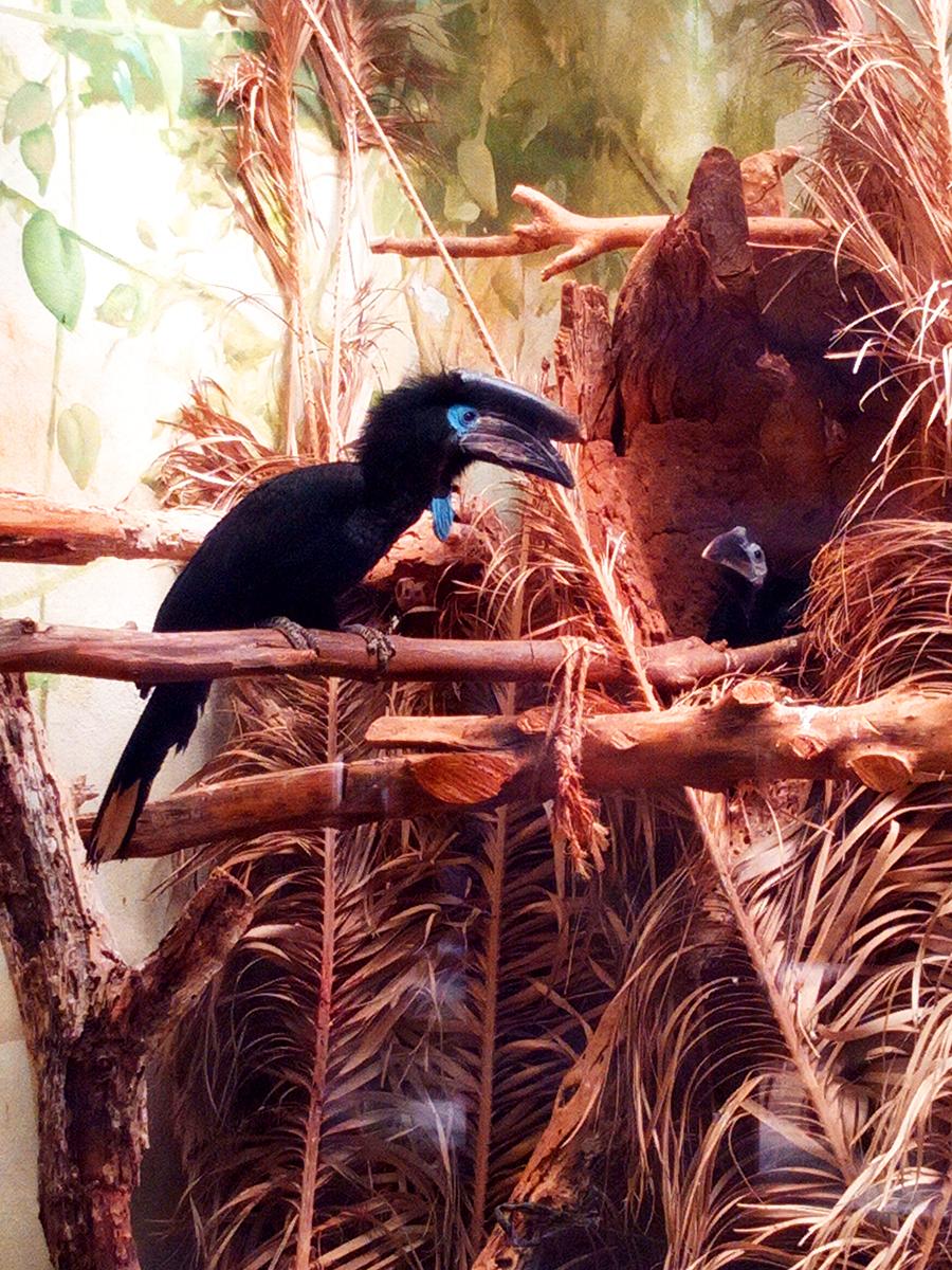 Pareja de cálao de casco negro en su nido
