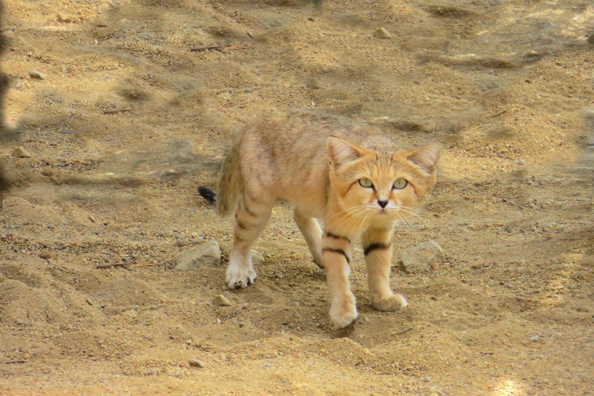 gato-arenas