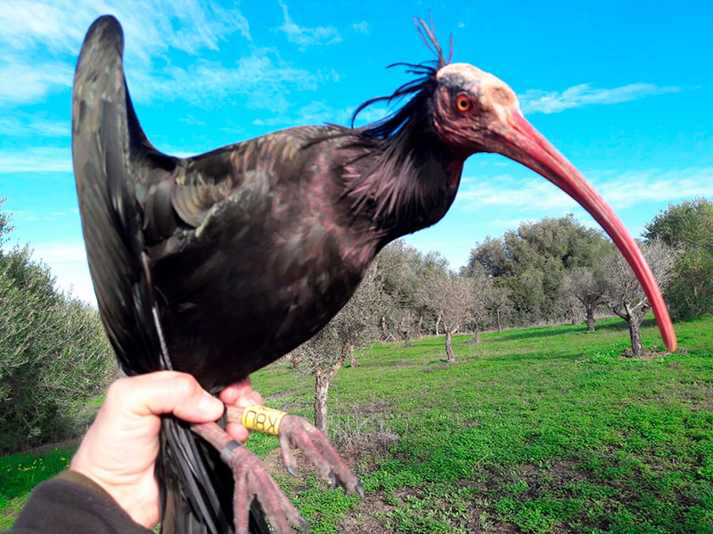 ibis-eremita-3.jpg